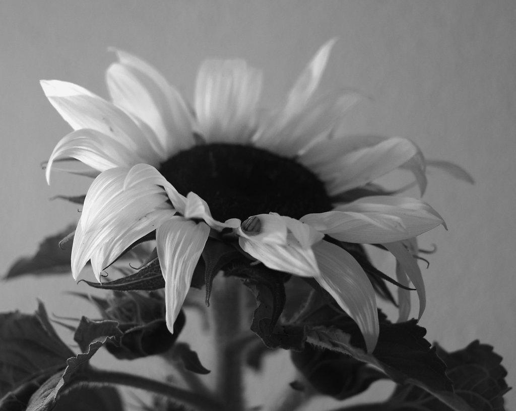 Sun flower - digital