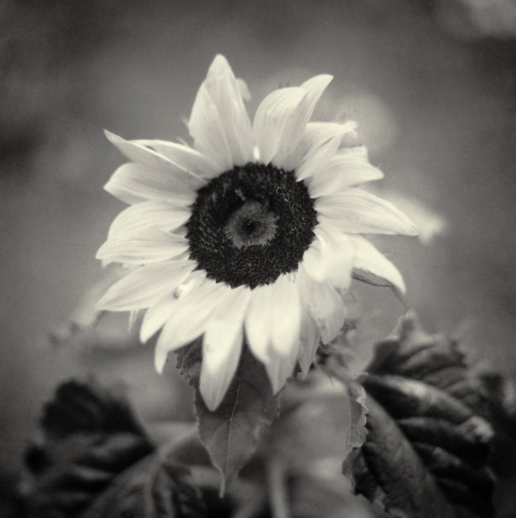 Sun flower - polaroid